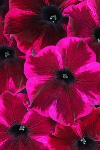 Petunia WFL® Crazytunia® Cosmic Purple